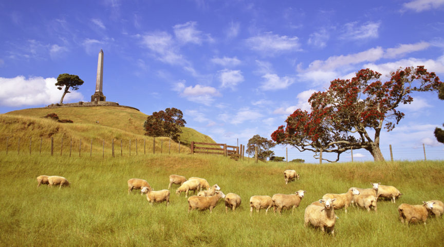 fw-auckland-one-tree-hill-sheep